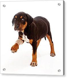 Rottweiler Puppy Injured Paw Acrylic Print