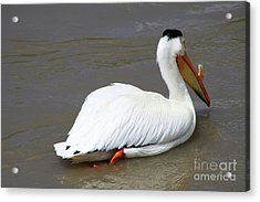 Rough Billed Pelican Acrylic Print