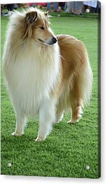 Rough Collie Acrylic Print by Photostock-israel