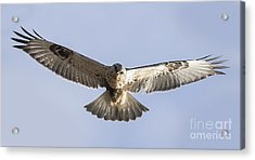 Rough-legged Hawk Coming Right At You Acrylic Print by Ricky L Jones