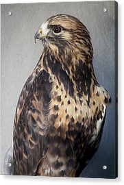 Rough-legged Hawk Acrylic Print by Paulette Thomas