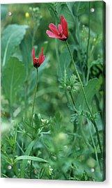 Rough Poppies (papaver Hybridum) Acrylic Print by Bob Gibbons/science Photo Library