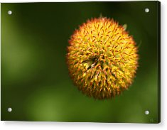 Round Flower Acrylic Print by Karol Livote
