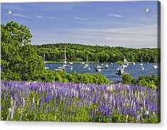 Round Pond Lupine Flowers On The Coast Of Maine Acrylic Print by Keith Webber Jr