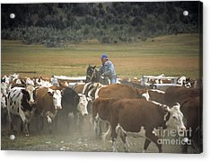 Cattle Round Up Patagonia Acrylic Print by James Brunker