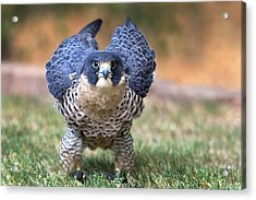 Rousing Acrylic Print by Danny Pickens