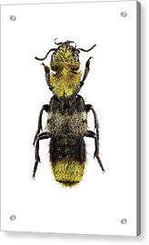 Rove Beetle Acrylic Print