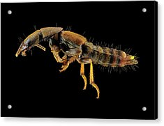 Rove Beetle Acrylic Print by Us Geological Survey
