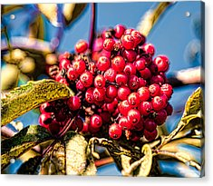 Acrylic Print featuring the photograph Rowan Berries by Leif Sohlman