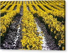 Rows Of Daffodils Acrylic Print