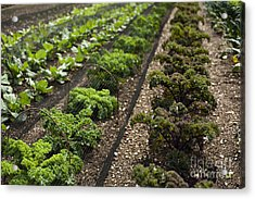 Rows Of Kale Acrylic Print by Anne Gilbert