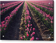 Acrylic Print featuring the photograph Rows Of Pink by Sylvia Cook