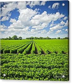 Rows Of Soy Plants In Field Acrylic Print