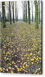 Rows Of Trees With Yellow Leaves And Ivy At Fall Acrylic Print by Sami Sarkis
