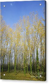 Rows Of Trees With Yellow Leaves Acrylic Print by Sami Sarkis