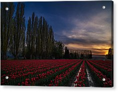 Rows Of Tulips And Tall Trees Acrylic Print