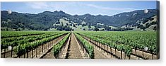 Rows Of Vine In A Vineyard, Hopland Acrylic Print