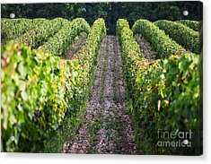 Rows Of Vines Acrylic Print by Tony Priestley