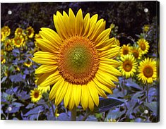 Acrylic Print featuring the photograph Roxanna Sunflower by Bill Swartwout