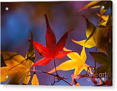 Royal Autumn B Acrylic Print by Jennifer Apffel