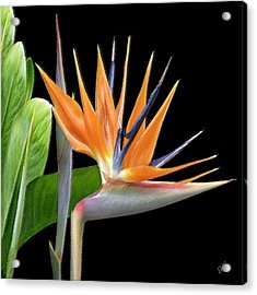 Royal Beauty I - Bird Of Paradise Acrylic Print