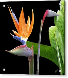 Royal Beauty II - Bird Of Paradise Acrylic Print