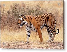 Royal Bengal Tiger Walking Around Dry Acrylic Print by Jagdeep Rajput