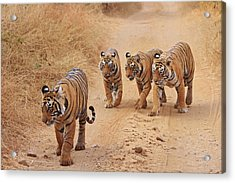 Royal Bengal Tigers On The Track Acrylic Print