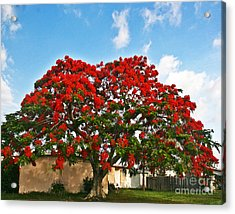 Royal Panciana Tree Acrylic Print