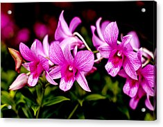 Royal Pink Orchid Acrylic Print by Donald Chen