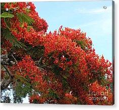 Royal Poinciana Branch Acrylic Print