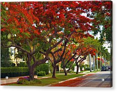 Royal Poinciana Trees Blooming In South Florida Acrylic Print