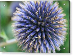 Royal Purple Scottish Thistle Acrylic Print