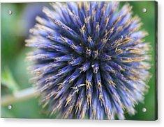 Royal Purple Scottish Thistle Acrylic Print by Peta Thames