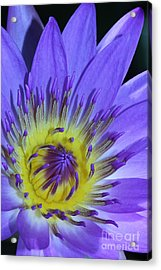 Royal Purple Water Lily #11 Acrylic Print