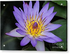 Royal Purple Water Lily #4 Acrylic Print