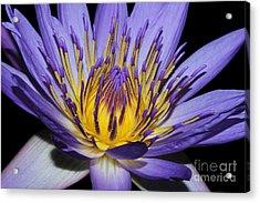 Royal Purple Water Lily #5 Acrylic Print by Judy Whitton
