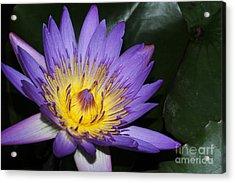 Royal Purple Water Lily #6 Acrylic Print