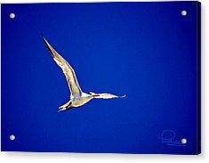 Royal Tern 2 Acrylic Print