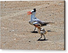 Royal Tern With Chick Acrylic Print