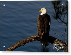 Royalty Acrylic Print by Beve Brown-Clark Photography