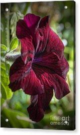 Ruby Red Petunia Acrylic Print