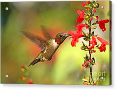 Ruby Throat Hummingbird Photo Acrylic Print