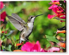Acrylic Print featuring the photograph Ruby Throated Humingbird by Kathy Baccari
