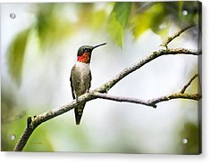 Ruby Throated Hummingbird Acrylic Print by Christina Rollo