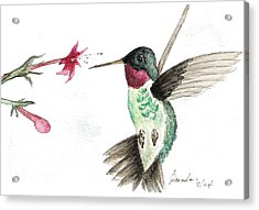 Ruby Throated Hummingbird Acrylic Print by Brenda Ruark