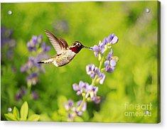 Ruby Throated Hummingbird Acrylic Print by Darren Fisher