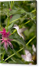 Ruby-throated Hummingbird Acrylic Print by Gregory K Scott