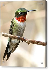 Ruby Throated Hummingbird Acrylic Print