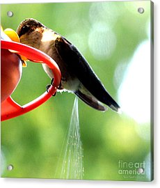 Ruby-throated Hummingbird Pooping Acrylic Print